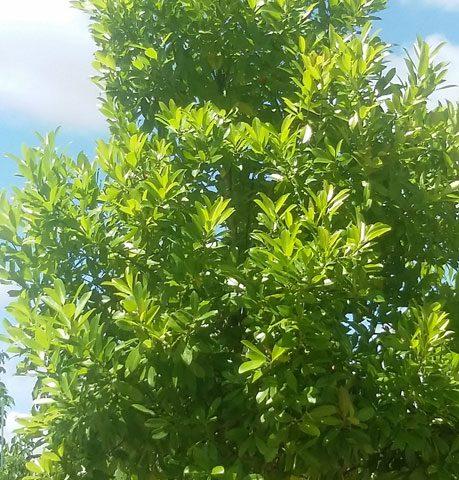 green_buttonwood_1