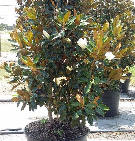 little_gem_magnolia_1