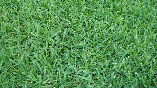 palmetto grass