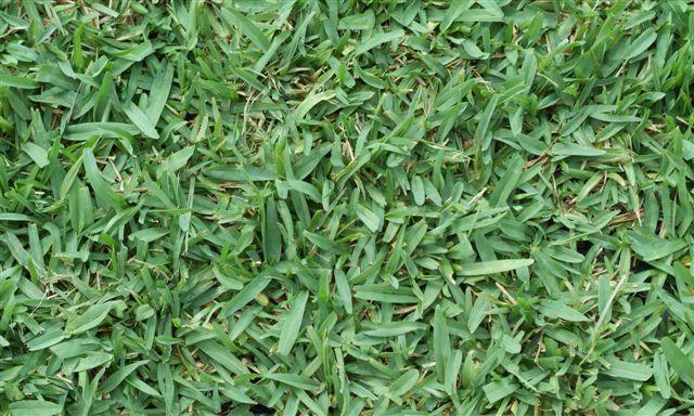 seville grass / turf